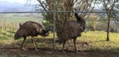 eichberg sg: skandal-emus haben neues zuhause bekommen