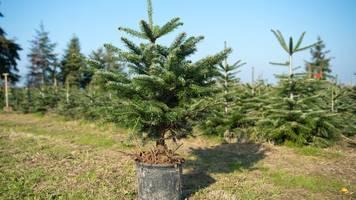 Vom Topf in den Garten: So wächst der Weihnachtsbaum weiter