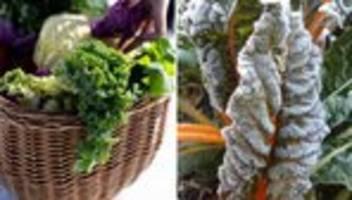 gemüseernte: pflanzen können seit jahrtausenden über den winter kommen