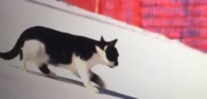 in adelboden: katze flaniert mitten auf der weltcuppiste