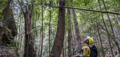 Australien: Feuerwehr rettet gefährdete Urzeit-Bäume vor den Flammen