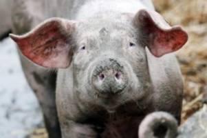 förderung für ferkelerzeuger: tierwohl-fleisch: 30 millionen euro für höhere standards