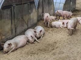 bauer an silvester verschwunden: schweine fressen besitzer auf