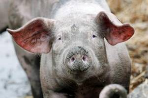 hausschweine fressen landwirt in polen auf