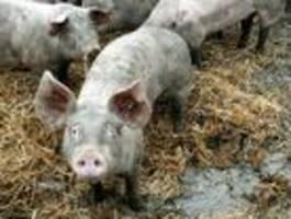 Eigene Schweine fressen Bauern in Polen auf