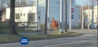 bern wankdorf: reiterloses pferd auf offener strasse unterwegs