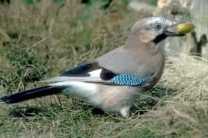 mitmachaktion: ergebnis der vogelzählung: mehr eichelhäher, weniger finken