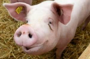 tierquälerei: china: schwein an bungeeseil aus 70 metern höhe geworfen