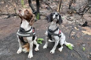 Buschbrände in Australien: Diese Jagdhunde suchen nach Koalas