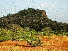 alles vernichtende wolke: heuschrecken lassen kenianer verzweifeln