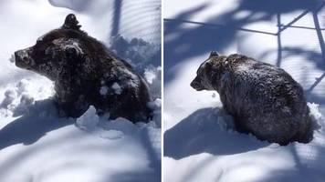 zuckersüße aufnahmen: mit dem smartphone gefilmt: grizzlybär erwacht aus dem winterschlaf