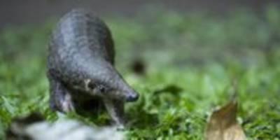 corona und tiere: auch schuppentiere unter den opfern