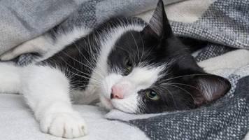 Belgien: Katze steckt sich bei einem Menschen mit Coronavirus an