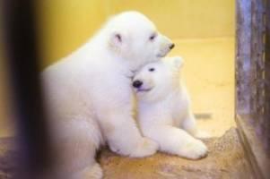 tiere: bremerhavener eisbär-zwillinge heißen elsa und anna