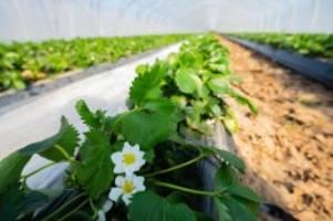 Agrar: Bauernverband: Versorgungslücken bei Obst und Gemüse möglich