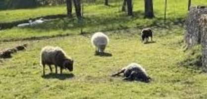 habsburg ag: wurde schaf von hund getötet?