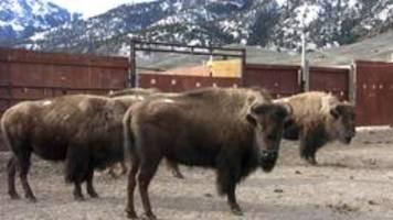 bisons in den usa: keine andere wahl als das schlachthaus
