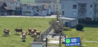 nüetedorf be : diese kühe tanzen, bis sie zum melken müssen