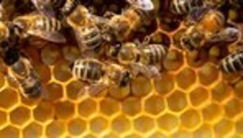bienensterben: jedes siebte bienenvolk überlebte den winter nicht