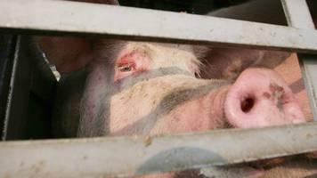 Anhänger mit Schweinen kippt um: 7 tote Tiere