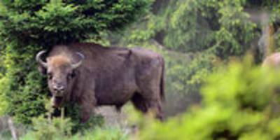 Wildtiere im Rothaargebirge: Ein 900 Kilo schweres Problem