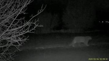 video: schneeleoparden am rande der großstadt