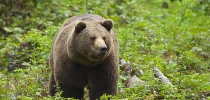 Und plötzlich taucht ein Bär hinter dem Jungen auf