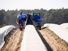 erste betriebe sind insolvent: nicht nur corona setzt spargelbauern zu