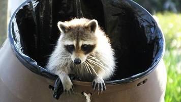 intelligenz: werden tiere klüger, wenn sie den menschen in die stadt folgen?