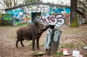 wildschweine: wildschweine machen den berliner südwesten unsicher