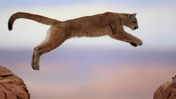 puma verirrt sich in garage – ranger befreien tier