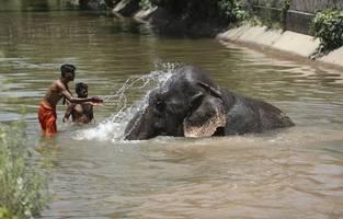 schwangere elefantendame wird mit ananas gefüttert, in der böller versteckt waren – sie stirbt an explosion