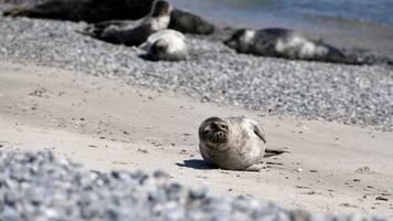 Mutterlose Wilma erster Heuler in Seehundstation Norddeich