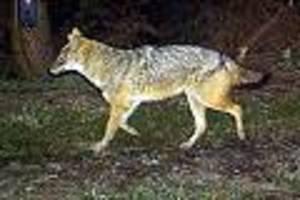 eng mit dem wolf verwandte art der hunde - dritter nachweis der tiere: goldschakale in niedersachsen unterwegs