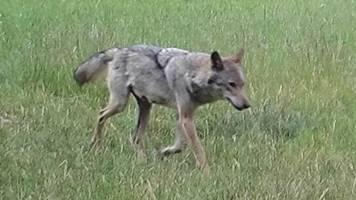 petition gegen abschuss von wölfin soll überreicht werden
