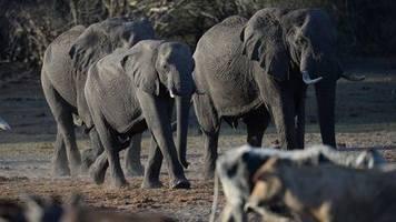 news des tages: 162 tote tiere in einem monat: mysteriöses massensterben von elefanten in botsuana