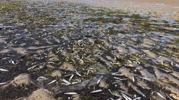 Angeschwemmte Fische: Rätselhaftes Heringssterben an der Nordseeküste
