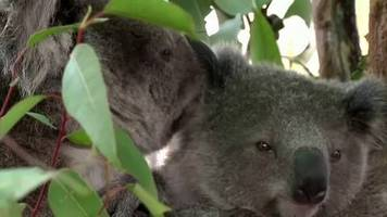 video: koalas in gefahr