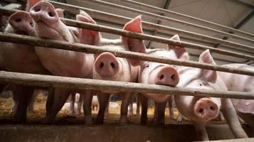 corona-krise: schweinegrippe-erreger mit pandemie-potenzial entdeckt