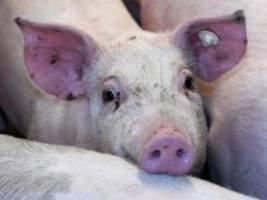 Corona-Ausbruch bei Tönnies: Übertragung des Virus auf das Fleisch theoretisch denkbar
