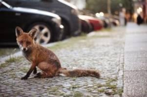 Bergmannkiez: Das ist Berlins erster Fuchs mit Instagram-Account