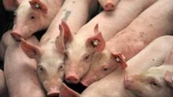 veterinär zum fall tönnies: im zweifel müssen tiere entsorgt werden