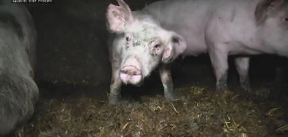 Unter diesen unwürdigen Bedingungen müssen viele Schweine leben