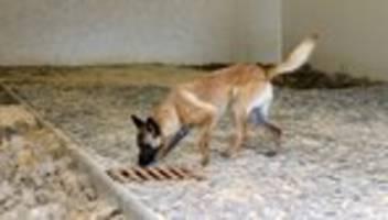 Corona-Diensthunde: Bundeswehr startet Testlauf mit Corona-Spürhunden