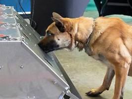 Tiere sollen Virus erschnüffeln: Bundeswehr bildet Corona-Spürhunde aus