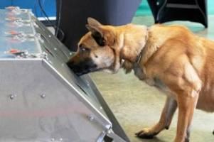 forschungsprojekt: bundeswehr: diensthunde sollen coronavirus erschnüffeln