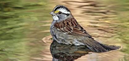 kanadische weißkehlammer verändern ihren gesang