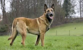 Deutsche Militärhunde sollen Coronavirus erschnüffeln