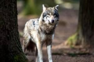 wissenschaft: wölfe kosteten land 2020 bereits rund 3,4 millionen euro