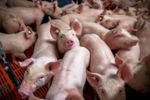 fleisch: corona-krise bedroht schweinebauern: wird fleisch billiger?